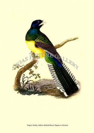 Trogon Viridis, Yellow-Bellied Green Trogon or Curucui